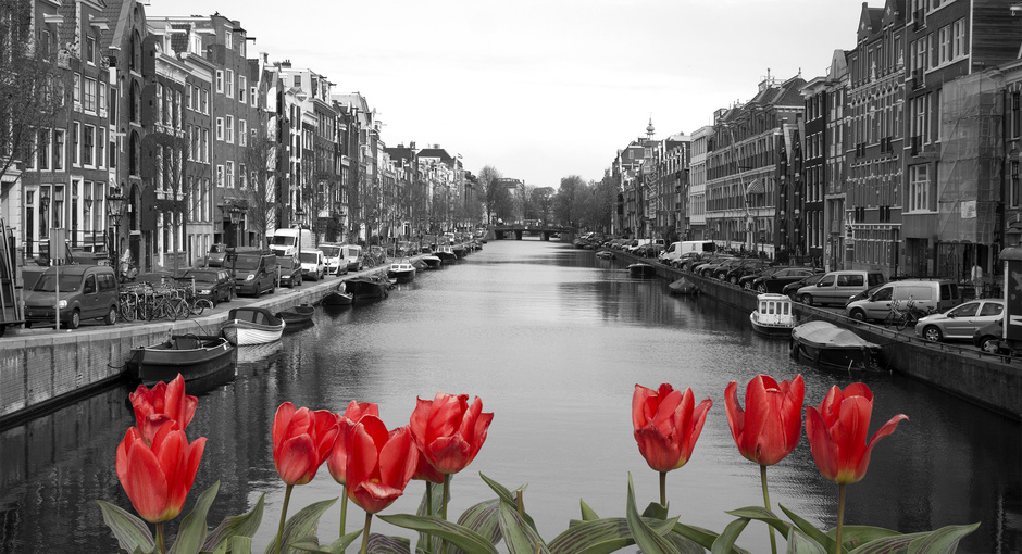 red tulips in amsterdam